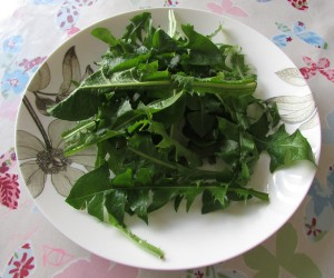 Freshly picked dandelion leaves