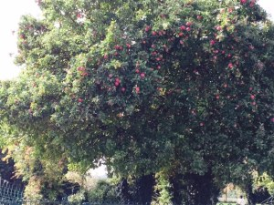 Dene Road apple tree